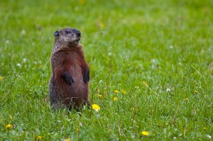 800px-Groundhog-Standing2-cc