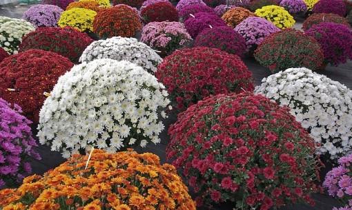 Chrysanthemum_×_morifolium_Dompierre_1