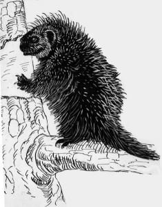 porcupine_climbing_tree_pd