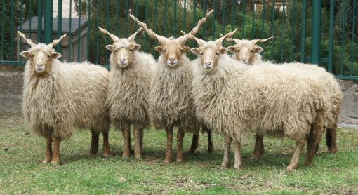 racka-sheep-cc