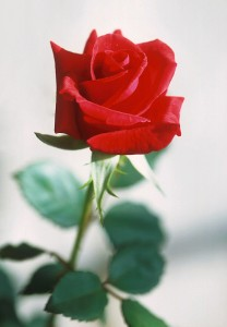 red_rose_pd