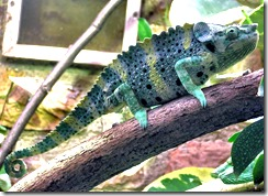1200px-Mellers.chameleon.bristol.zoo.arp
