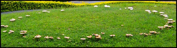 800px-Fairy_ring_on_a_suburban_lawn_100_1851