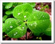 800px-Trifolium_repens_Leaf_April_2,_2010