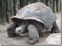A._gigantea_Aldabra_Giant_Tortoise