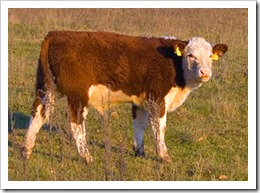 Brown_cow_in_a_field