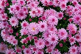 Chrysanthemum_x_morifolium_Dompierre_2