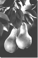 Pears_(1)