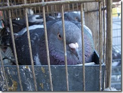 Pigeon_in_the_cage