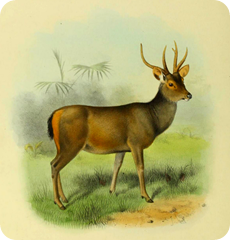 The_deer_of_all_lands_(1898)_Malayan_sambar