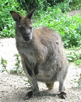 Photo of a Wallaby