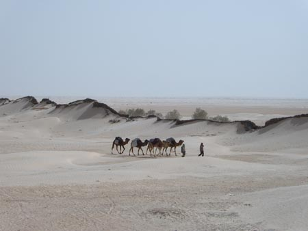 Photo of Camels in Tunisia