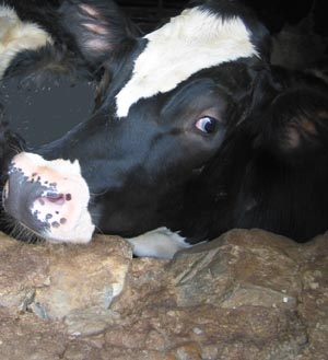 Photo of a Cow