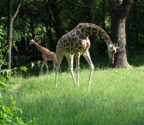 Photo of a Giraffe Curving its Neck