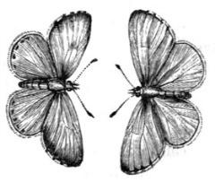 i_171 azure butterfly