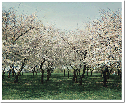 Cherry Blossom Tree Poems