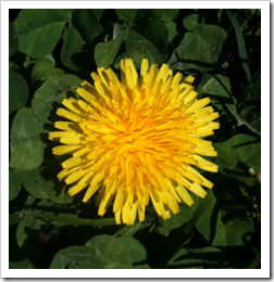 Photo of Dandelion Flower
