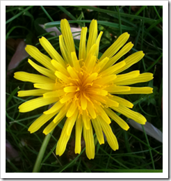 Photo of a Young Dandelion Flower