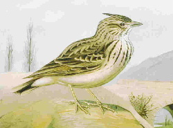 Picture of a Lark for Alouette