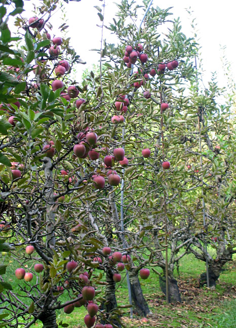 Photo of an Apple Orchard