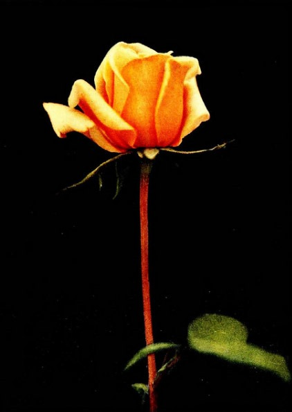 the symbolism in a rose for