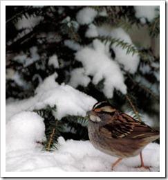 sparrow_snow