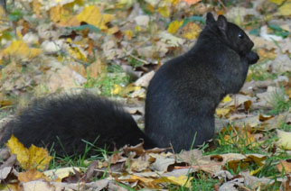 Let Us Chase the Squirrel  - Canciones infantiles estadounidenses - Estados Unidos - Mamá Lisa's World en español: Canciones infantiles del mundo entero  - Intro Image