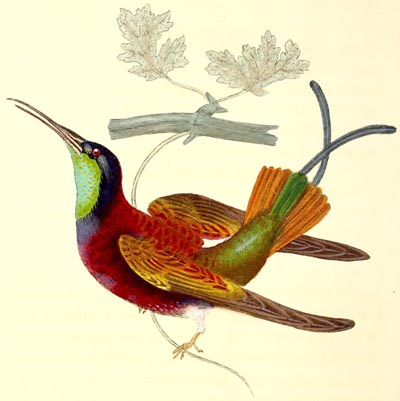 The Hummingbird - English Children's Songs - England - Mama Lisa's World: Children's Songs and Rhymes from Around the World  - Intro Image