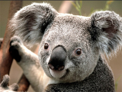 Cuddly Koalas - Australian Children's Songs - Australia - Mama Lisa's World: Children's Songs and Rhymes from Around the World  - Intro Image