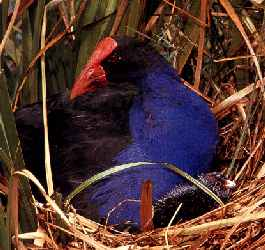 A Pukeko in a Ponga Tree - (The 12 Days of Christmas) - New Zealand and Maori Children's Songs - New Zealand - Mama Lisa's World: Children's Songs and Rhymes from Around the World  - Comment After Song Image