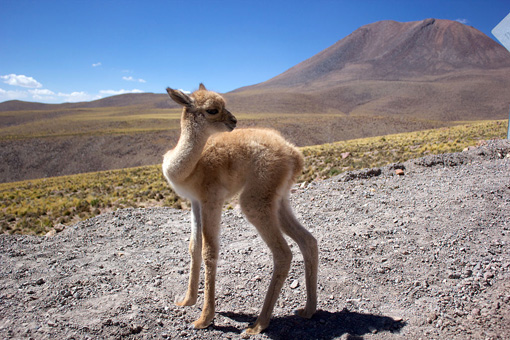 La vicuñita - Peruvian Children's Songs - Peru - Mama Lisa's World: Children's Songs and Rhymes from Around the World  - Comment After Song Image